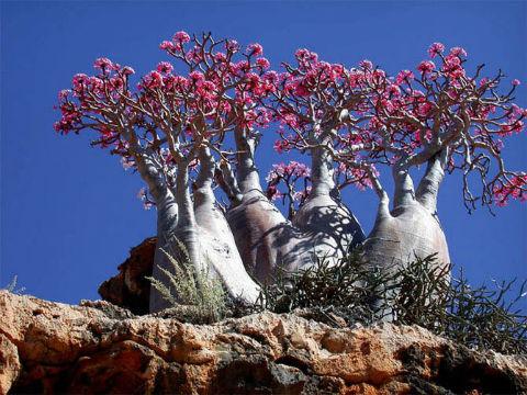 бутылочное дерево на сокотре