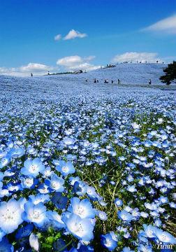 самые синие цветы