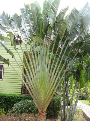 равенала , дерево-веер
