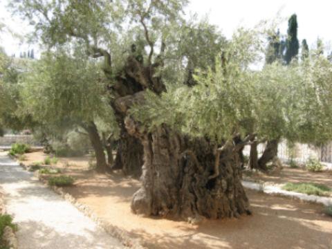 оливы в Гефсиманском саду