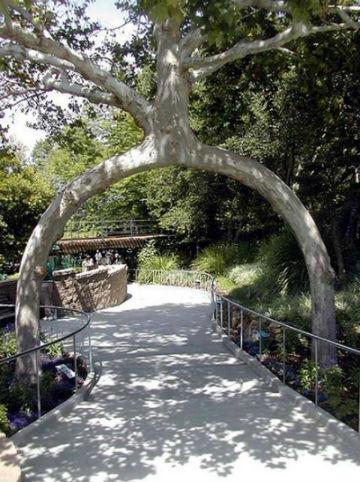 необычные деревья: дерево-арка