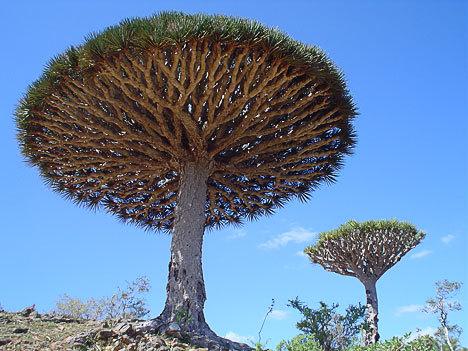 драконовое дерево ,драцена на сокотре