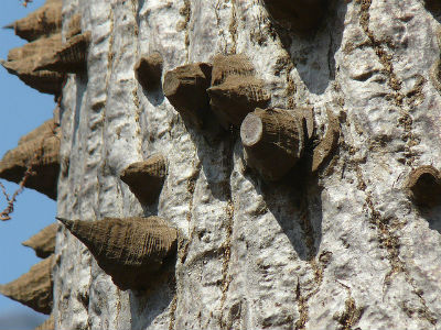 сейба- хлопковое дерево