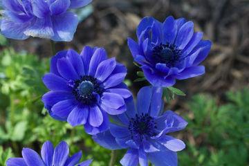 синие цветы - анемоны