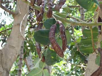 рожковое дерево Кипра