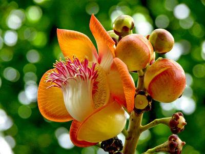 цветок курупиты