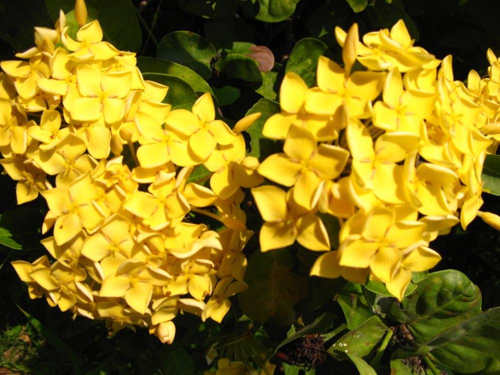 иксора желтая