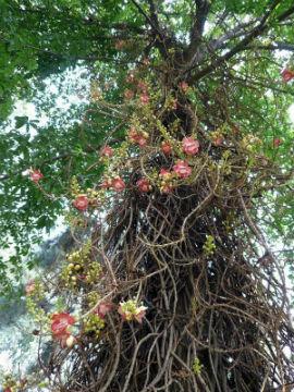 курупита цветущая
