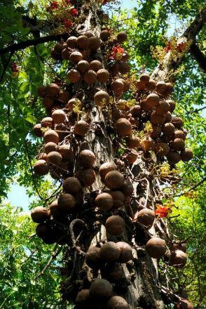 курупита - дерево пушечных ядер