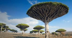 драконовое дерево, драцена
