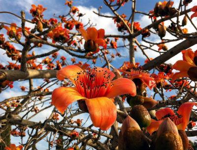 бомбакс, красное хлопковое дерево