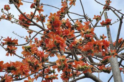 бомбакс,красное хлопковое дерево