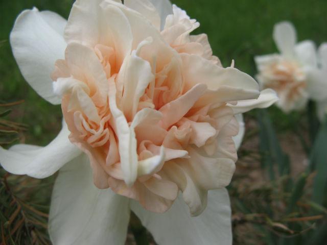 Цветы на даче нарциссы примулы и все