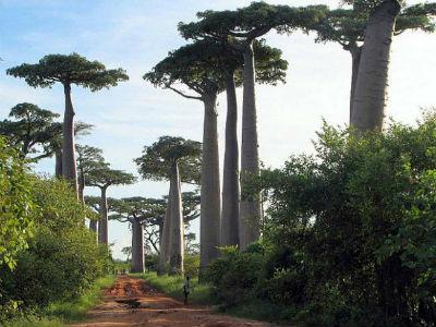 баобаб - самое толстое дерево