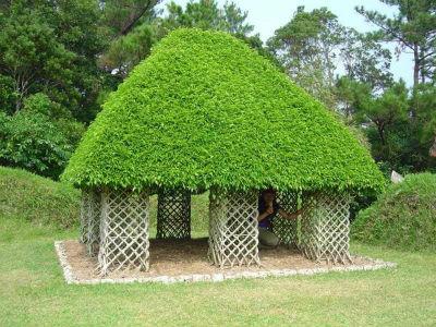 необычные деревья: дерево-беседка