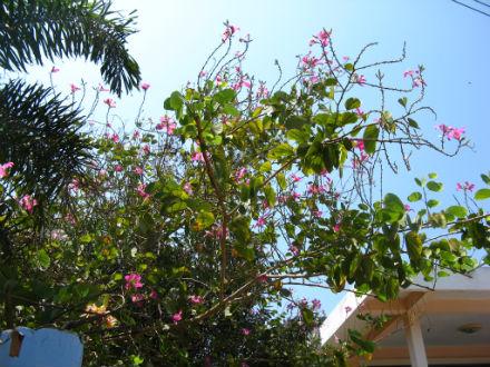 пурпурная баухинья на ко лане