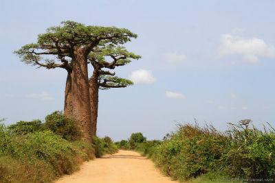 баобаб- самое толстое дерево