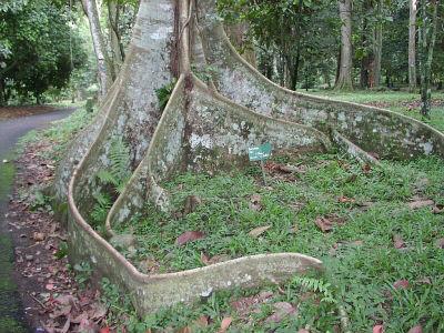 сейба - хлопковое дерево